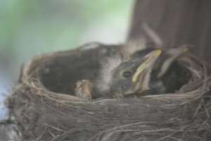 Baby robins are looking around now