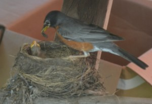 Mama Robin feeding waiting babies