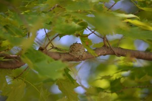 Hummingbird nest high in tree