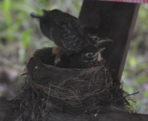 Baby Robins walking around nest rim