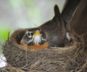 Mama Robin sitting on the eggs