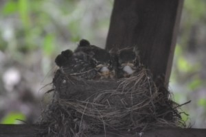 The two hatched robins finally resemble birds
